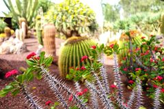 Garden with a lot of cactuses. Park with many kind of cactuses and thorny flowers, Canary Islands Stock Images
