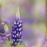 Garden lupin background Royalty Free Stock Images