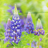 Garden lupin background Royalty Free Stock Image