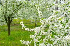 Garden with majestically blossoming large trees on a fresh green lawn.  royalty free stock photos