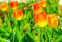 Garden with many orange tulips Royalty Free Stock Photography