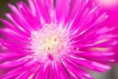 Garden Margheritas Stock Photos