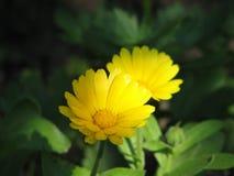 Garden marigold Stock Photo