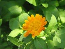 Garden marigold Stock Photos