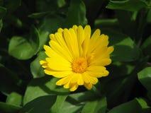 Garden marigold Royalty Free Stock Photo