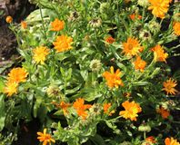 Garden marigold Royalty Free Stock Photography