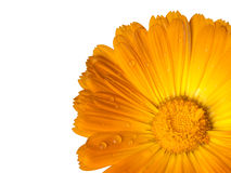 Garden marigold flower cropped and  isolated on white. Stock Image
