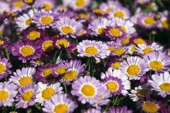 Garden of mauve and purple daisy`s royalty free stock photos