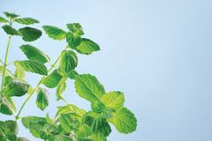Garden mint Royalty Free Stock Image