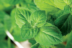 Garden mint Stock Photography