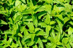 Garden mint. Royalty Free Stock Photo