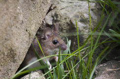 Garden mouse. A garden mouse looking out of his shelter Royalty Free Stock Photography
