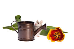 Garden Mouse with Tulip and Watering Can. Adorable pet mouse with watering can and colorful tulip presented against white background with lots of copy space royalty free stock photos