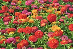 Garden with multicolored gorgeous Royalty Free Stock Images