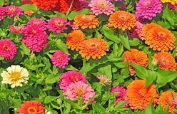 Garden with multicolored gorgeous Royalty Free Stock Photography