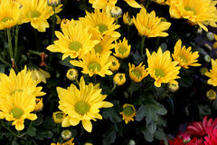 Garden Mum Chesapeake yellow with green center. Chrysanthemum morifolium, dwarf compact cultivar with green leaves and yellow colored medium size flower heads stock image