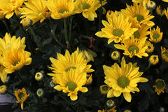 Garden Mum Chesapeake yellow with green center. Chrysanthemum morifolium, dwarf compact cultivar with green leaves and yellow colored medium size flower heads royalty free stock image