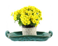 Garden Mum flowers on green tray Royalty Free Stock Photos
