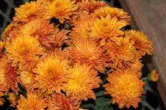 Garden Mum Orange, Chrysanthemum morifolium. Dwarf compact cultivar with green leaves and orange colored medium size flower heads stock photo