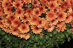 Garden Mum Peach, Chrysanthemum morifolium. Dwarf compact cultivar with green leaves and peach colored medium size flower heads with darker center royalty free stock photos