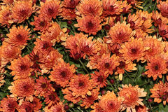 Garden Mum Peach, Chrysanthemum morifolium. Dwarf compact cultivar with green leaves and peach colored medium size flower heads with darker center royalty free stock photography