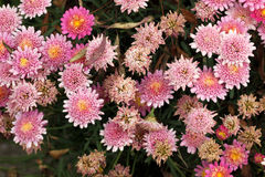 Garden Mum Pink, Chrysanthemum morifolium. Dwarf compact cultivar with green leaves and pink small flower heads, lighter on the outside, peach yellow in center royalty free stock photos
