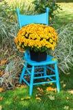 Garden Mum. A pretty yellow garden mum on a turquoise blue chair in the home garden stock photography