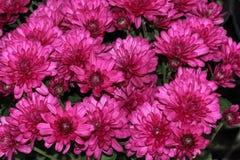 Garden Mum Purple, Chrysanthemum morifolium. Dwarf compact cultivar with green leaves and purple medium size flower heads royalty free stock images