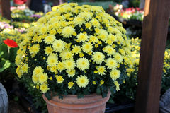 Garden Mum Yellow, Chrysanthemum morifolium. Dwarf compact cultivar with green leaves and lemon yellow small flower heads royalty free stock images