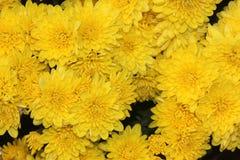 Garden Mum Yellow, Chrysanthemum morifolium. Dwarf compact cultivar with green leaves and lemon yellow small flower heads stock image