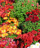 Garden Mums. Fall colored hardy garden mums stock photography