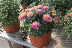 Garden Mums. Colorful garden mums in a greenhouse environment stock photo