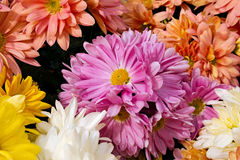 Garden Mums. Wonderful garden Mums, in a variety of colors stock image