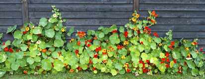 Garden Nasturtium at a Fence Royalty Free Stock Photo