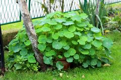Free Garden Nasturtium Or Tropaeolum Majus Flowering Annual Plant With Large Light Green Disc Shaped Leaves Growing In Shape Of Small Royalty Free Stock Photo - 167786145