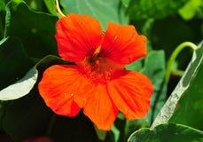 Garden nasturtium (Tropaeolum majus) Stock Photos