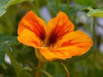 Garden nasturtium Tropaeolum majus Royalty Free Stock Photo