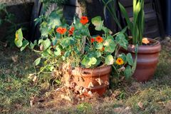 Garden nasturtium or Tropaeolum majus flowering annual plant with disc shaped leaves and orange flowers planted in large flower. Garden nasturtium or Tropaeolum royalty free stock photos