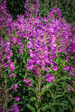 Garden natural bright pink flower field in winter Royalty Free Stock Images