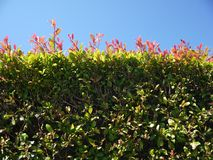 Garden: new growth garden hedge Royalty Free Stock Photography