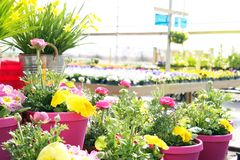 Garden nursery filled with buttercups, daffodils and pansy flowe Royalty Free Stock Photography