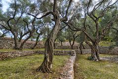 The garden of olive trees Stock Photos