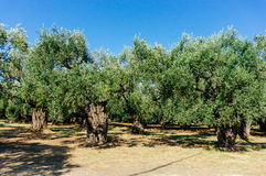 Garden of olive trees Stock Image