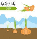 Garden. Onion. Plant growth. Stock Images