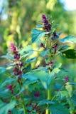 Garden orache (atriplex hortensis) Stock Image