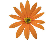 Garden Orange flower, white  isolated background with clipping path. Closeup. Stock Images