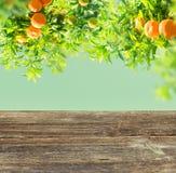 Orange tree garden Royalty Free Stock Images