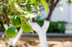 Garden orange tree Stock Photography