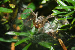 Garden Orb Spider. Royalty Free Stock Image