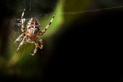 Garden orb spider background Stock Photos
